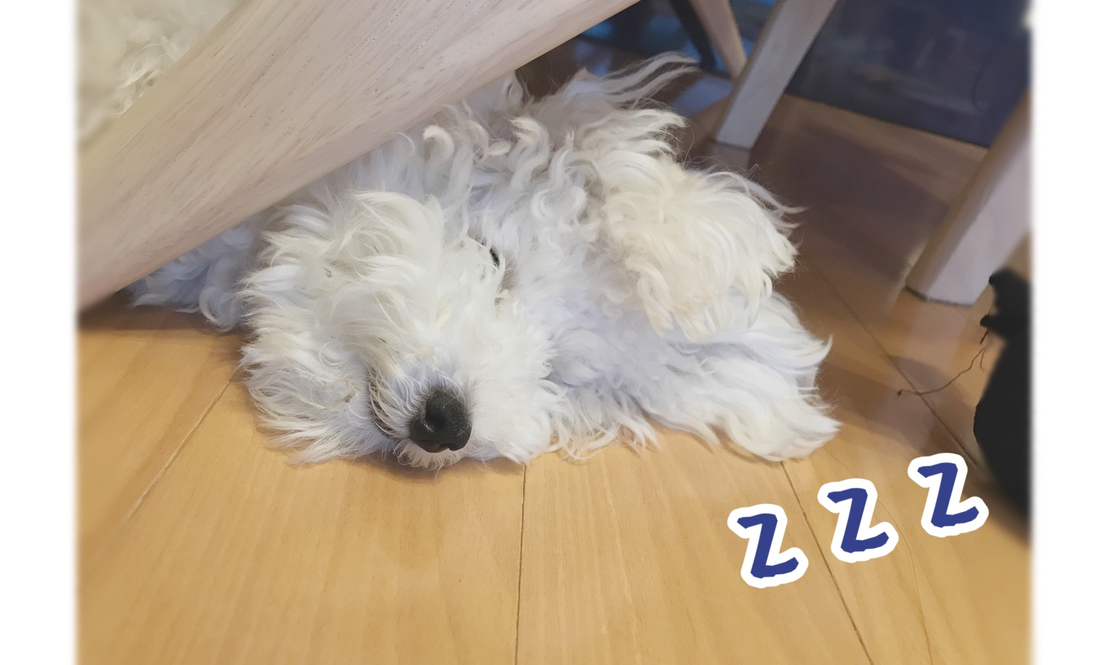 眠るたまごろ トイプードルホワイト