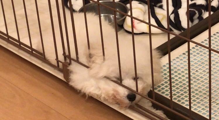眠る白トイプードルたまごろ