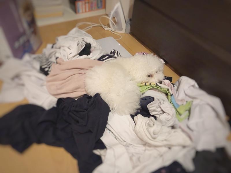 洗濯物の上に居座る白トイプードルたまごろ