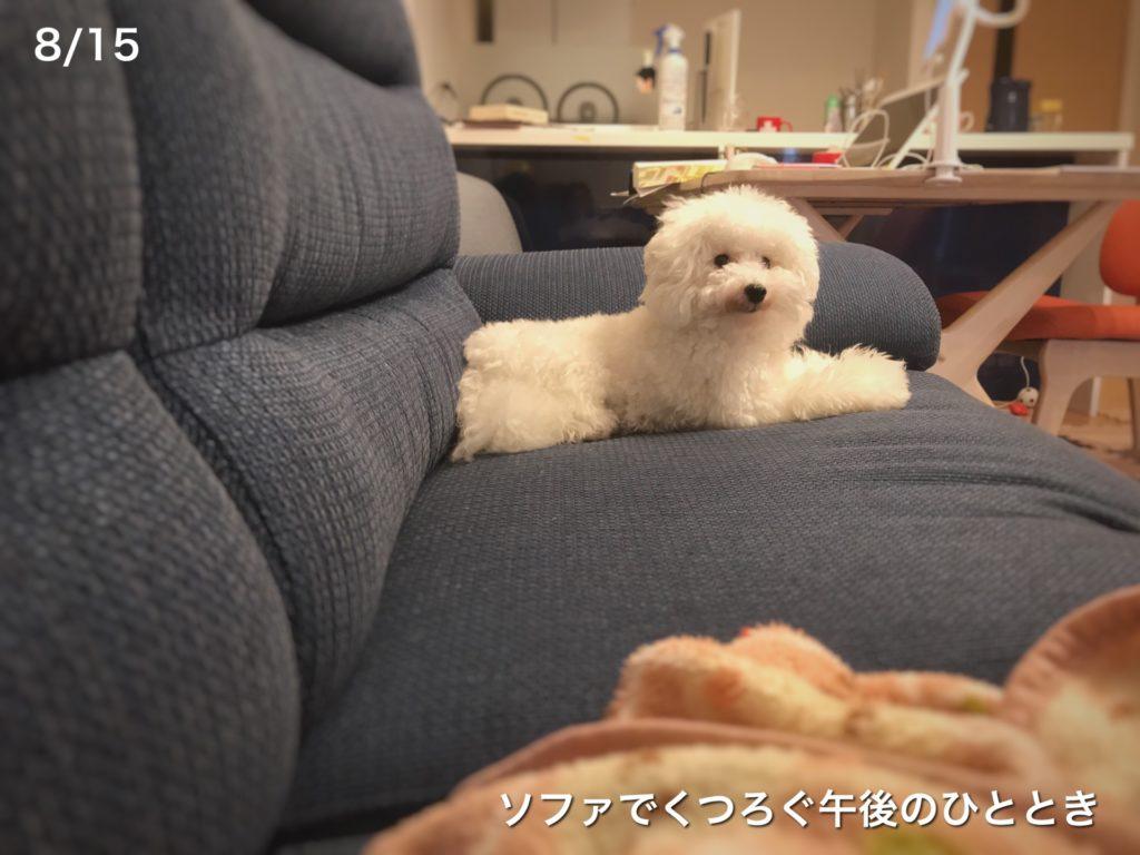ソファに座る白トイプードルたまごろ