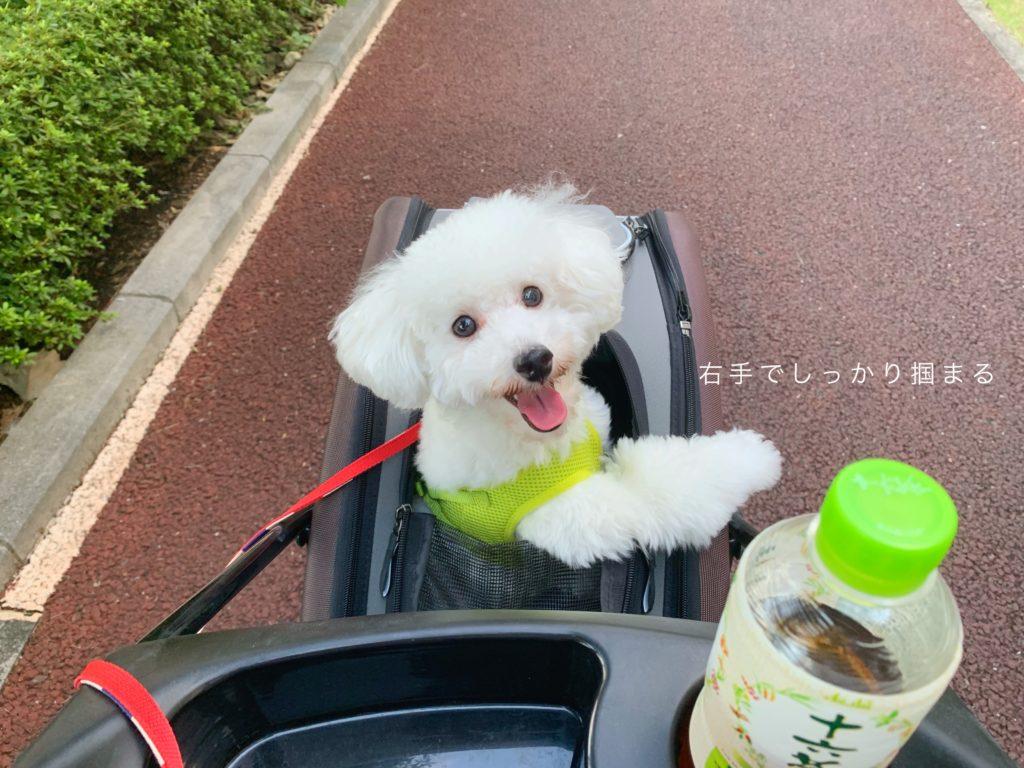 ペットカートに楽しそうに乗る白いトイプードル