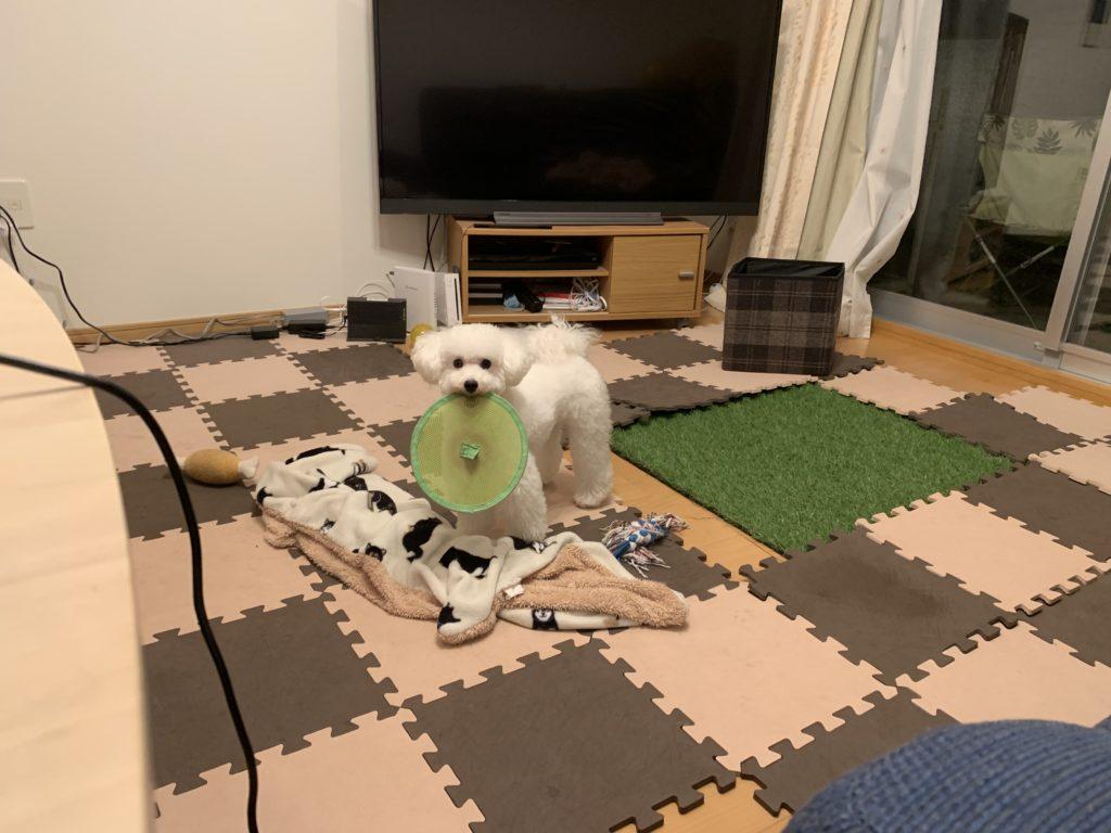 フリスビーを咥える白いトイプードルの子犬