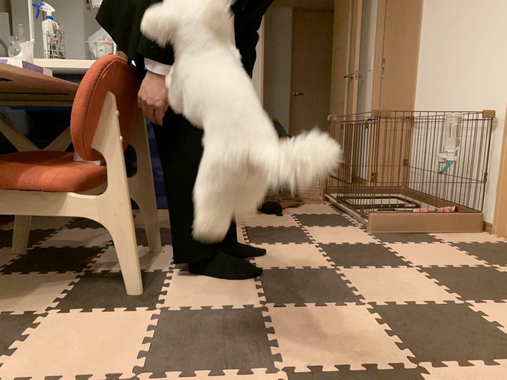 飼い主の帰宅を喜ぶ白いトイプードルの子犬