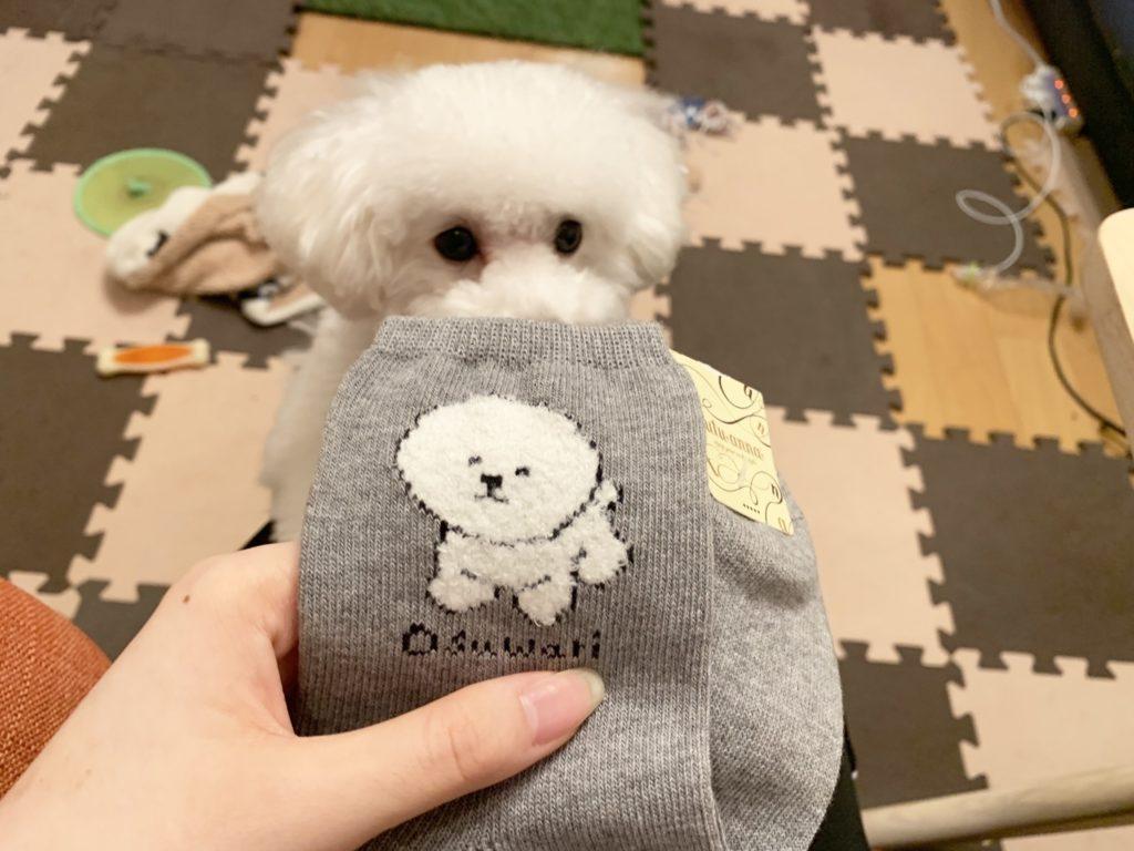 靴下のにおいをかぐ白いトイプードルの子犬