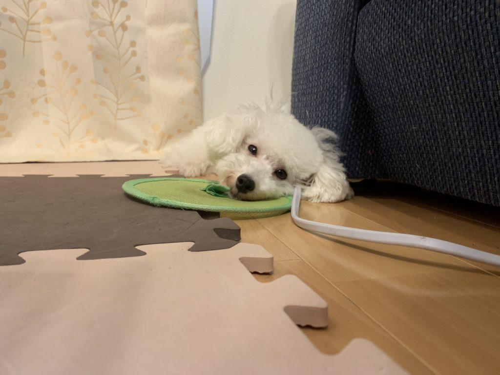 白いトイプードルの子犬