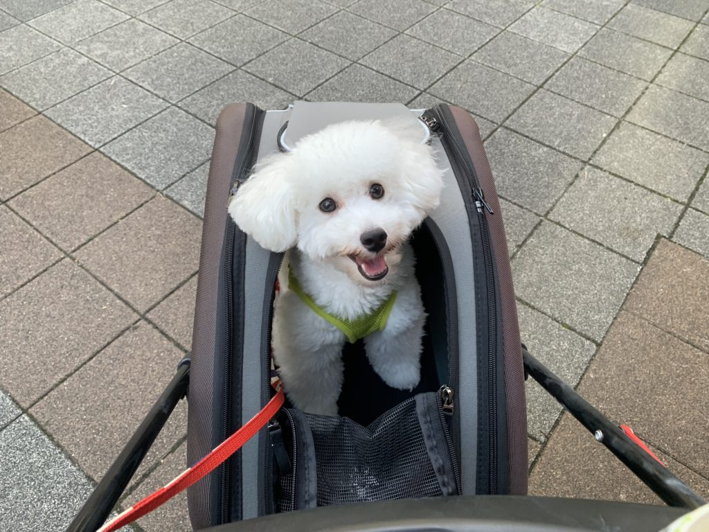 ペットカートに乗る白いトイプードル