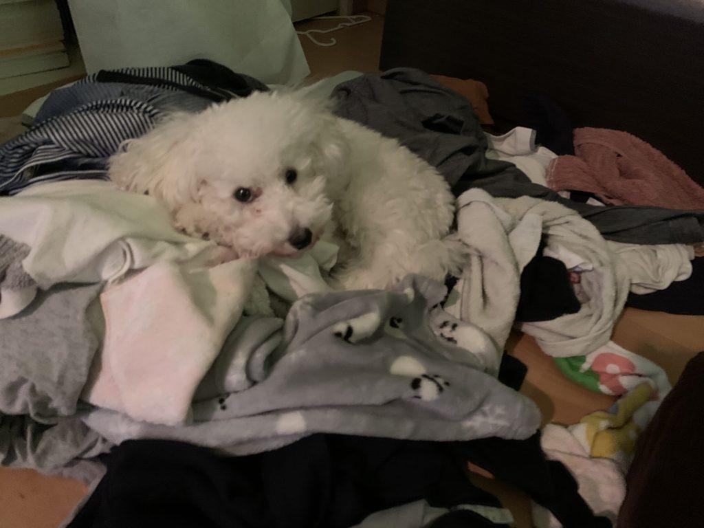 洗濯物の上にいるホワイトトイプードル